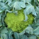 Romanesco Italia Broccoli