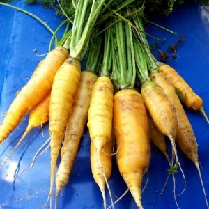 Amarillo Carrots