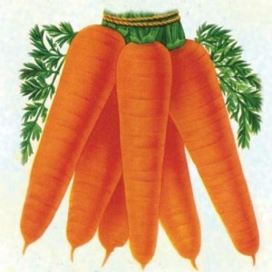 Berlicum 2 Carrots