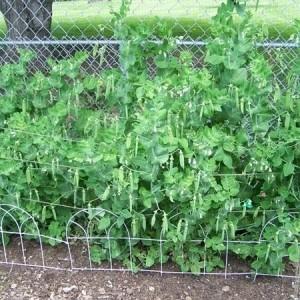 Little Marvel Garden Peas