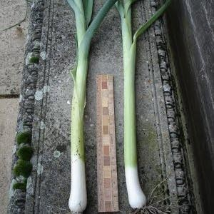 Bulgarian Giant Leeks