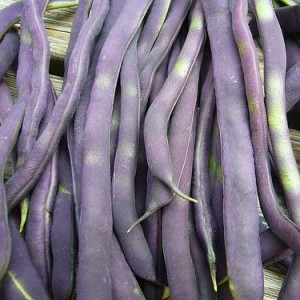 Blauhilde - Pole Bean