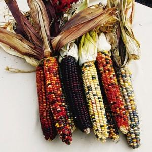 Indian Rainbow Corn