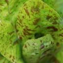 Forellenschluss Lettuce