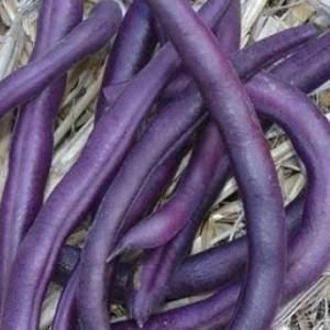 Royalty Purple Pod - Bush Bean