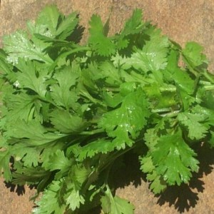 Italian Giant Parsley (Flat Leaf)