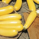 Courgette 'Golden Butter'