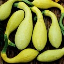 Crookneck Early Golden Summer Squash