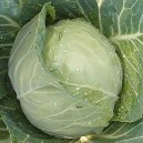 Copenhagen Market Cabbage
