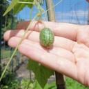 Mexican Sour Gherkin (Melothria Scabra)