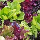 Gourmet Salad Blend Lettuce