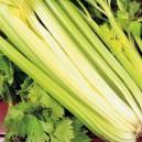 Giant Golden Pascal Celery