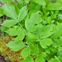 Lovage (The Maggi herb)