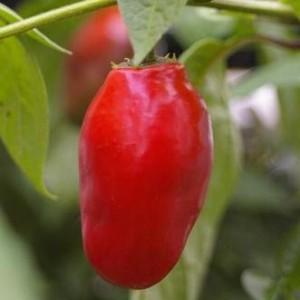 Rocoto Pepper (Manzano)