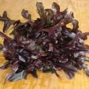 Red Saladbowl Lettuce