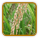 Rice Growing Guide